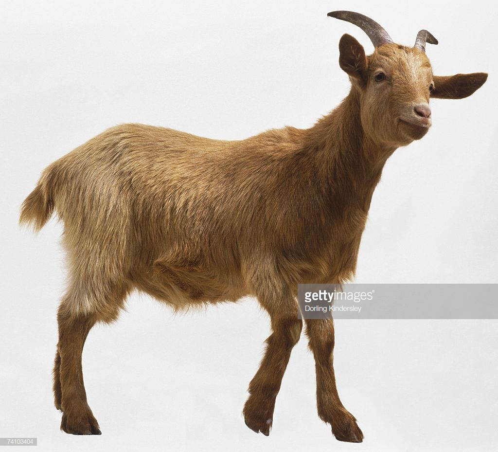 Image result for goat pic